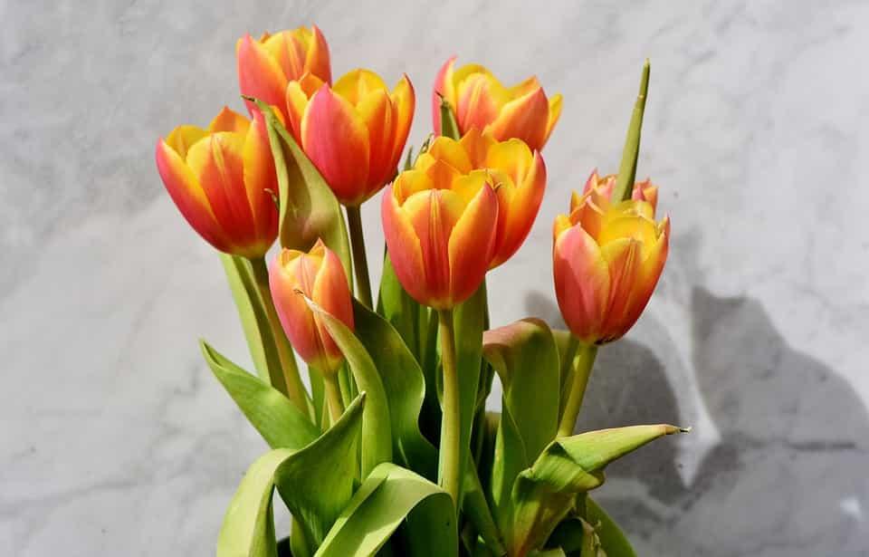Cuidados tulipanes
