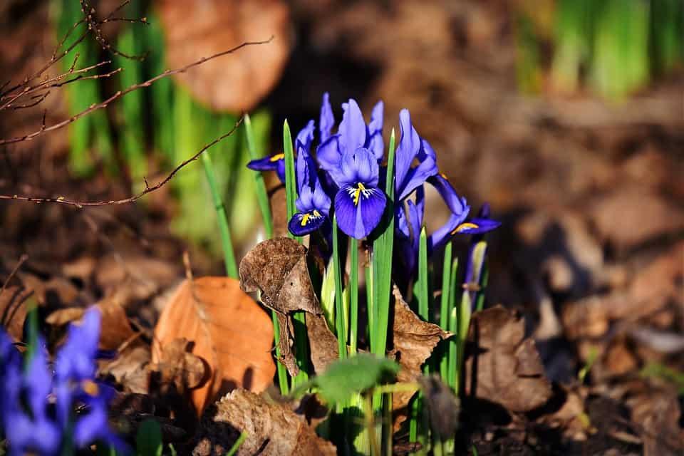 Cuidados Iris ensata
