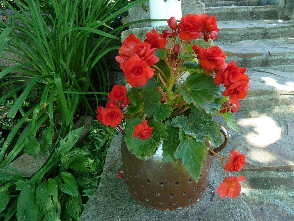 Planta bulbosa maceta