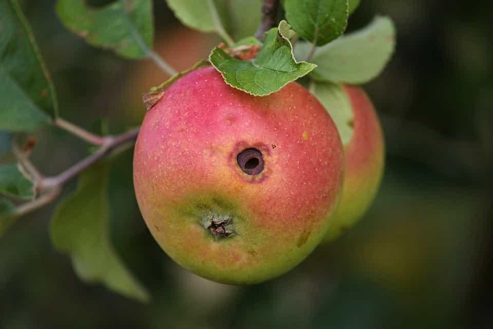 Antracnosis-fruto