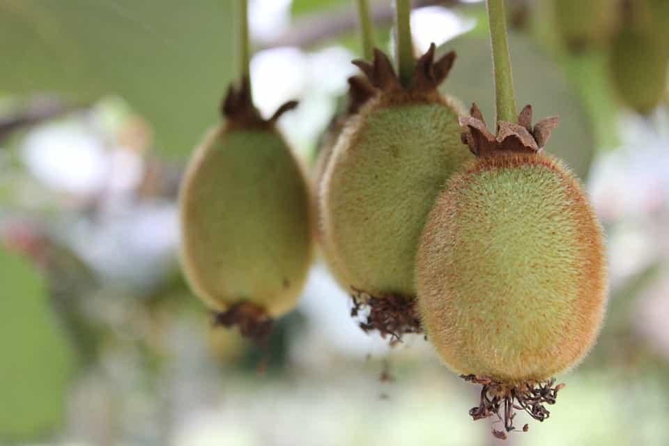 Kiwi-variedades