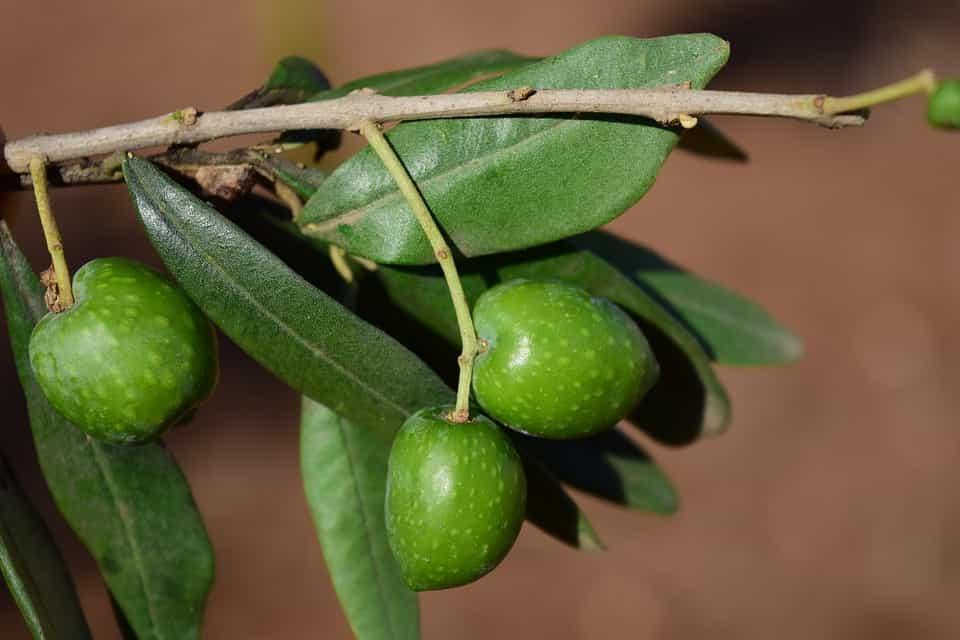 Olivo-variedades