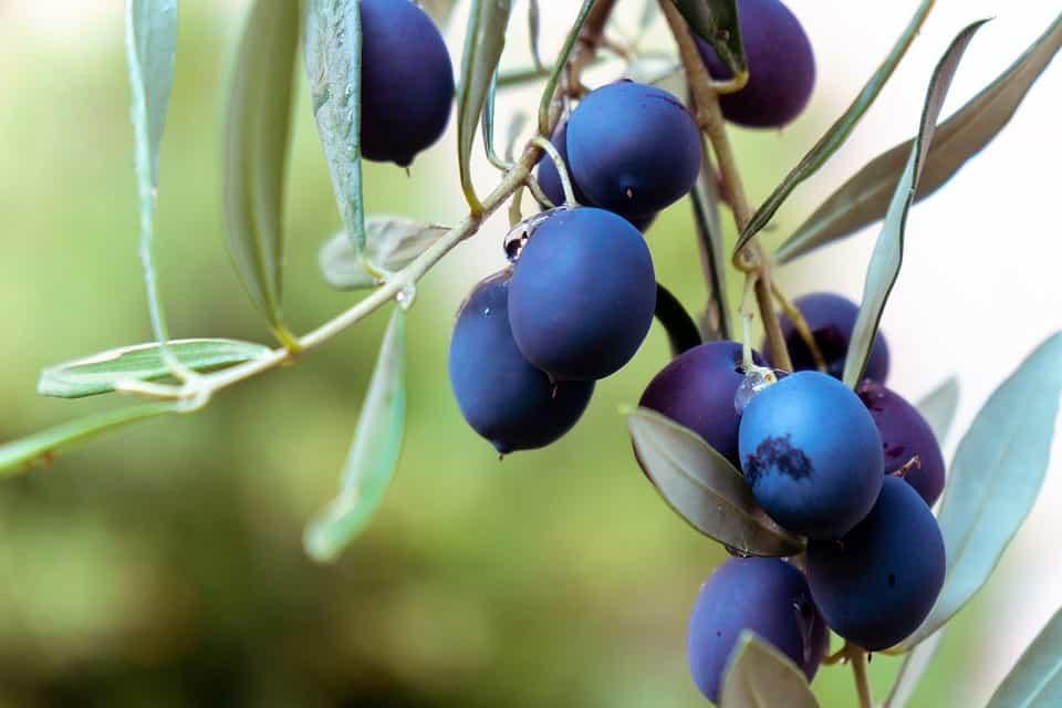 Variedad-olivo
