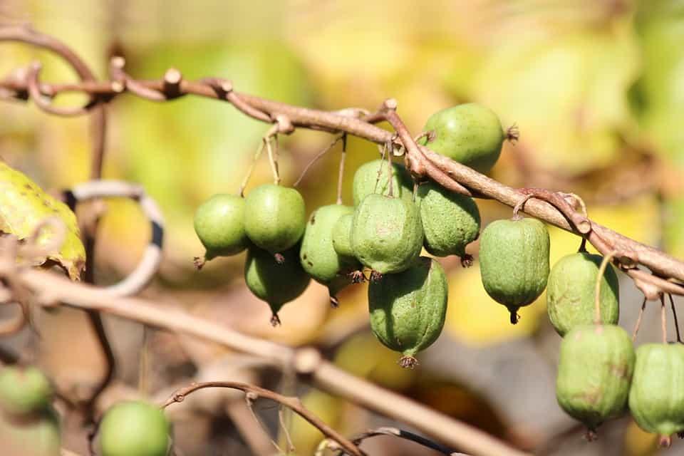 kiwi-variedad