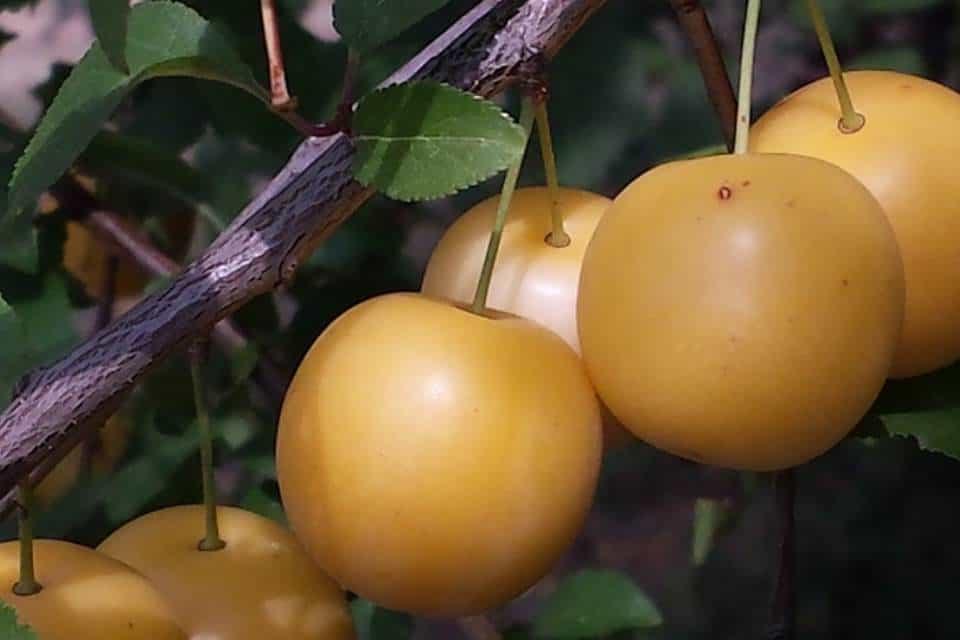 Ciruelo-frutales-enananos