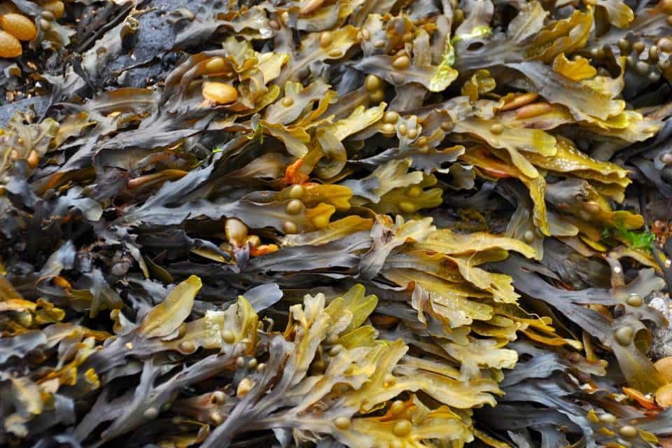 Cultivo-extractos-de-algas