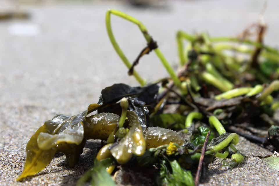Extractos-de-algas-cultivo