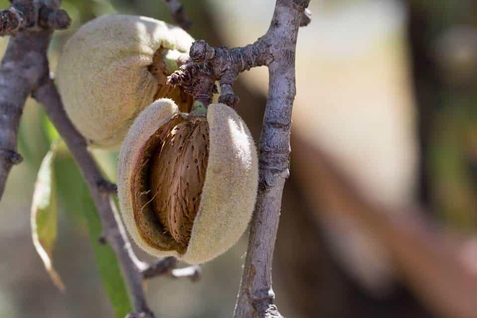 Frutal-enano-almendro