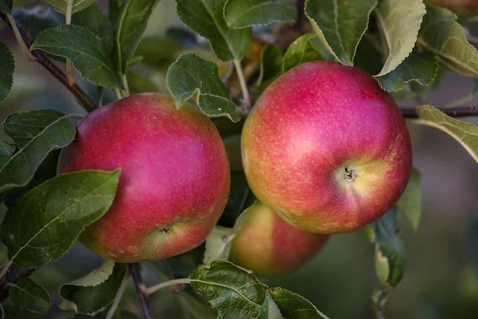 Manzano-frutal-enano