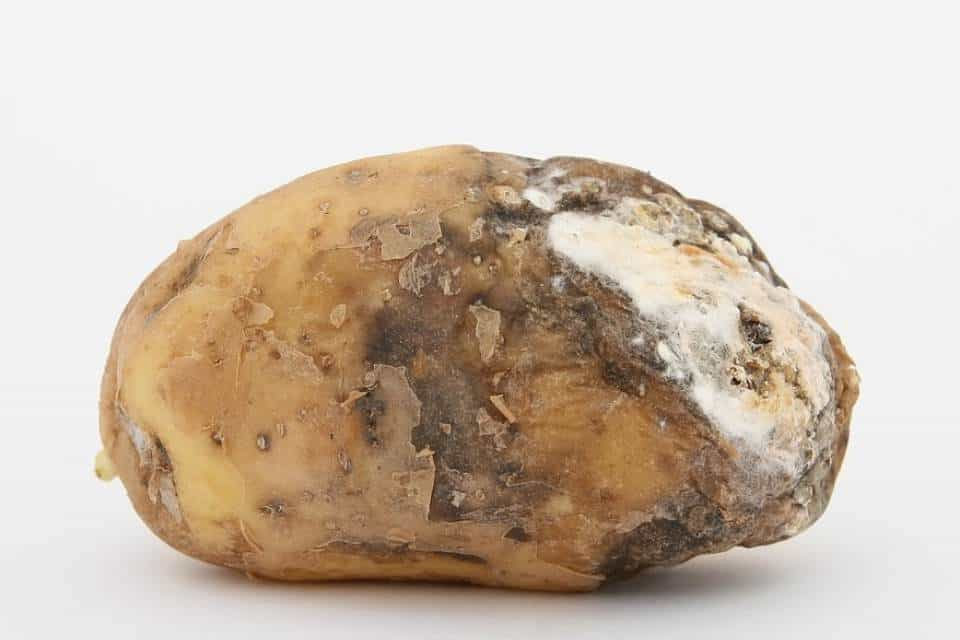 Patata-Leptinotarsa-decemlineata