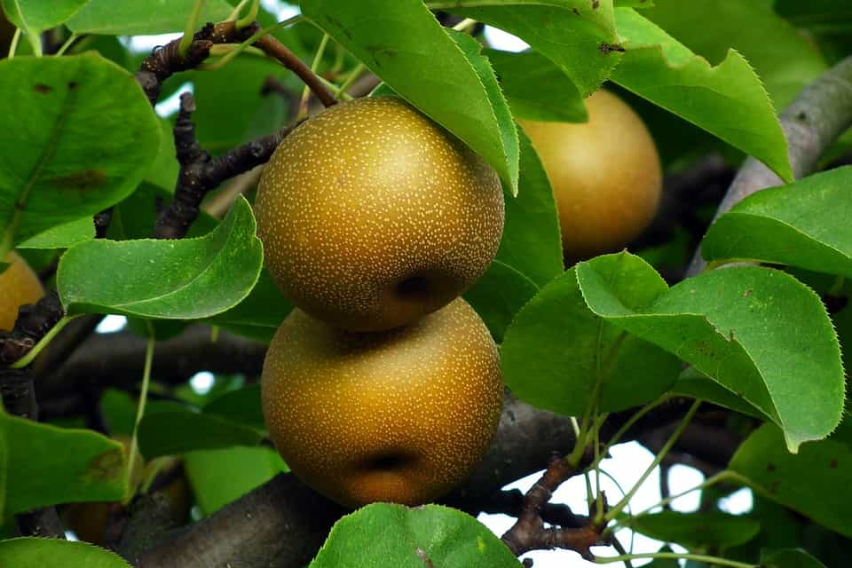 Peral-frutal-enano
