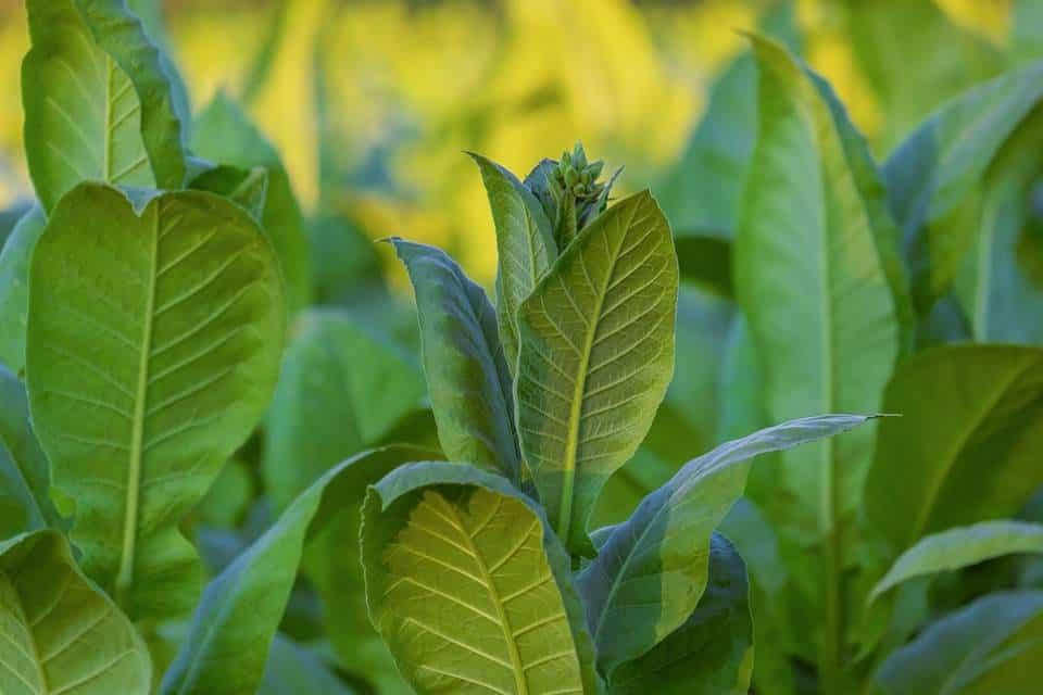 Planta-nutriente-boro