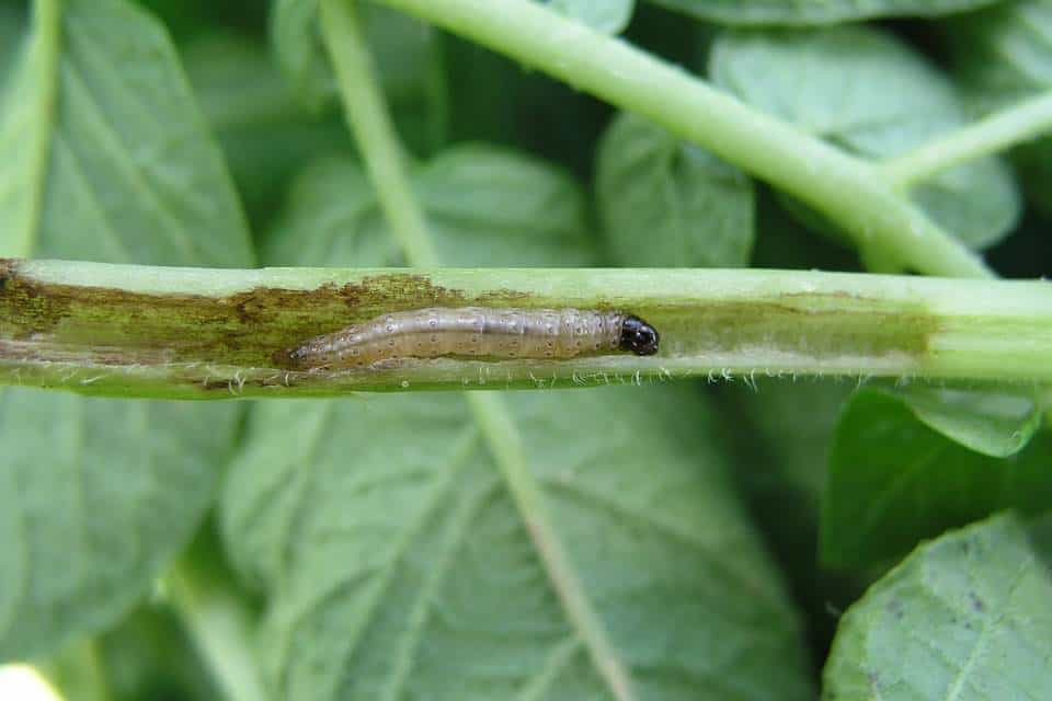 Polilla-de-la-patata-larva