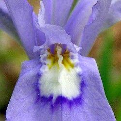 Cresta de iris