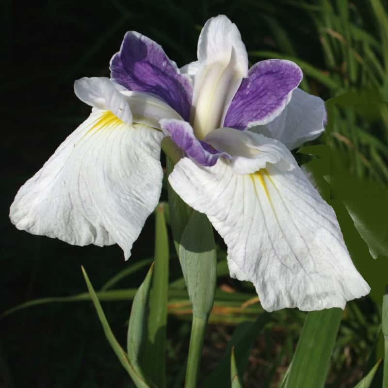 Iris ensata Fortuna