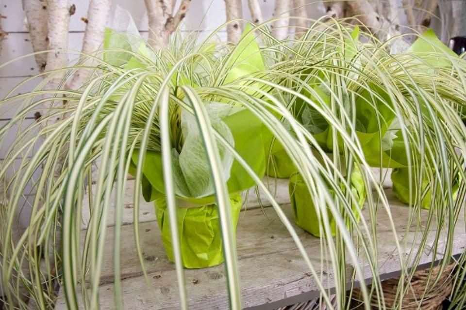 Regalar-plantas