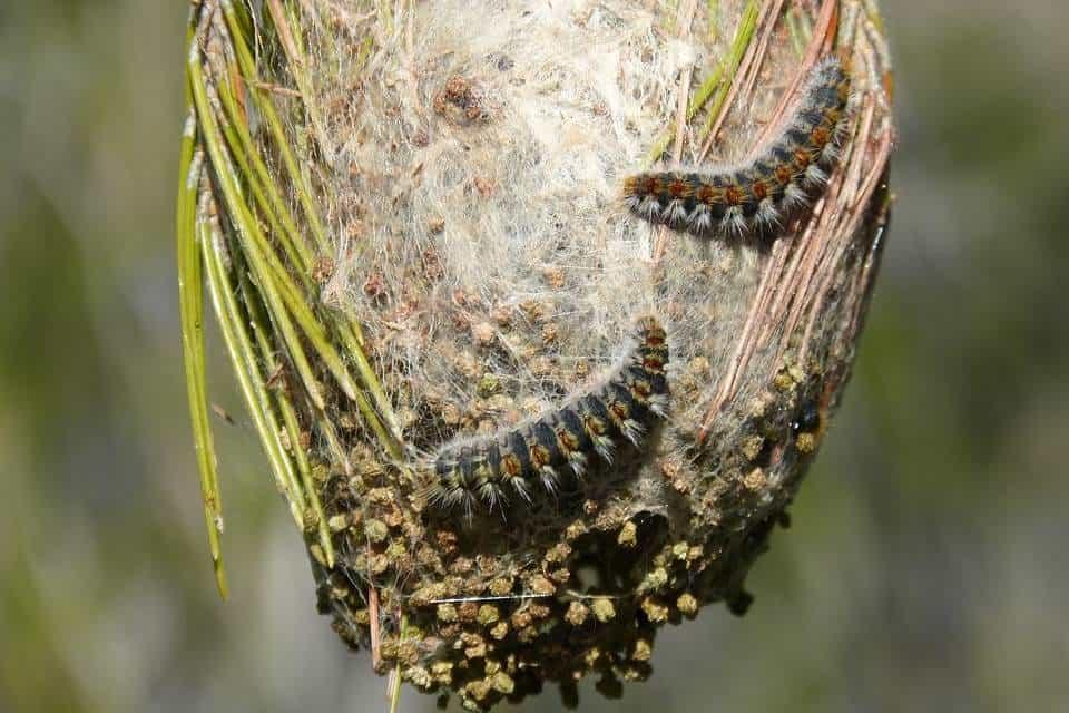Procesionaria-del-pino