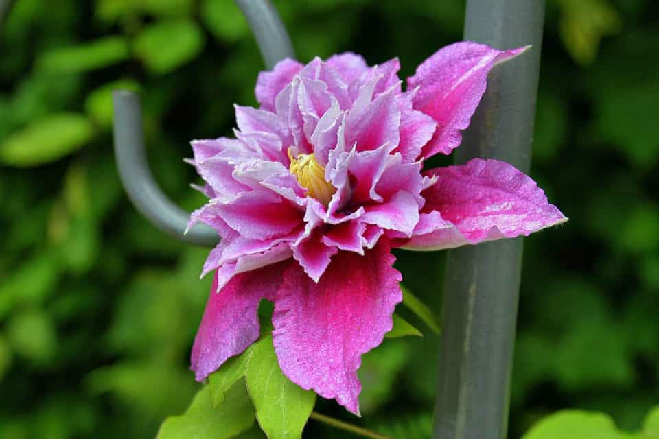 Clematis-tipos