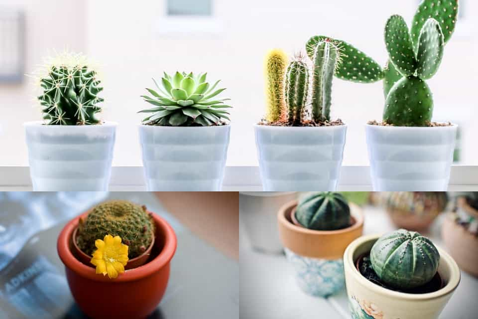 Cactus-tipos