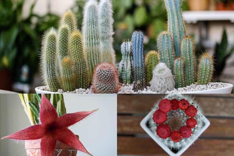 Tipos-cactus