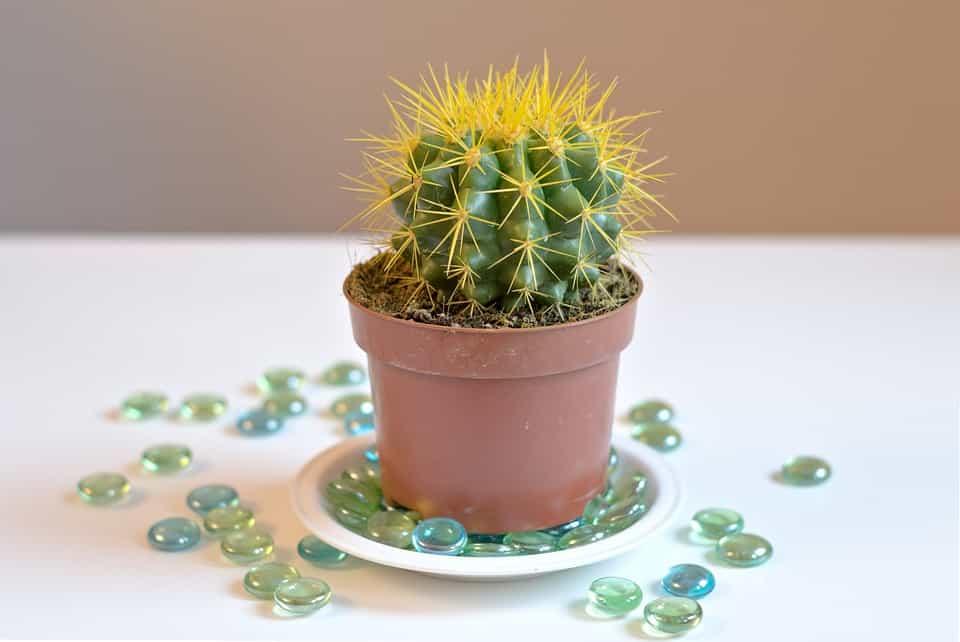 Cactus-cuidar
