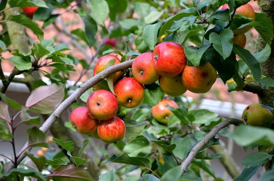 Manzanos-cuidar