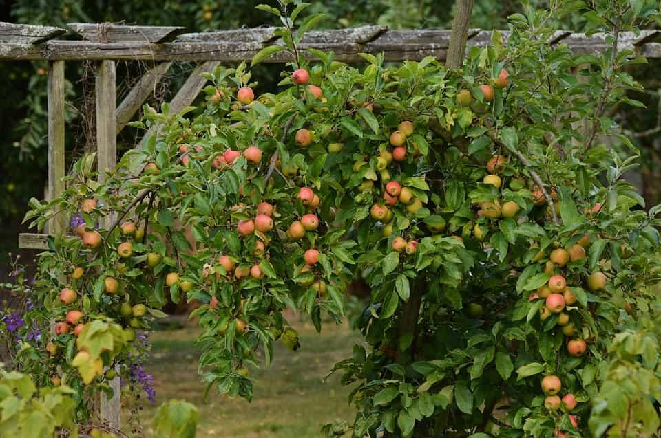 Manzanos-poda
