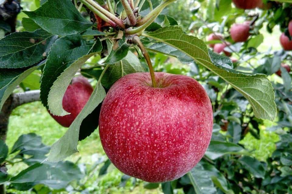 Tipos de manzanos