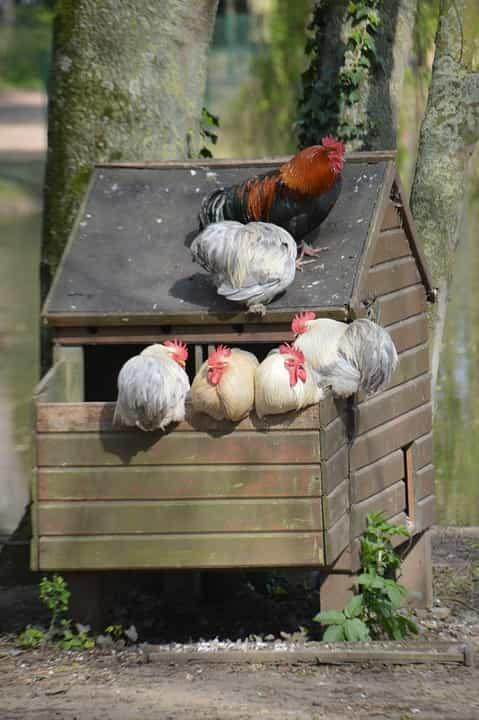 Aves-alimentar