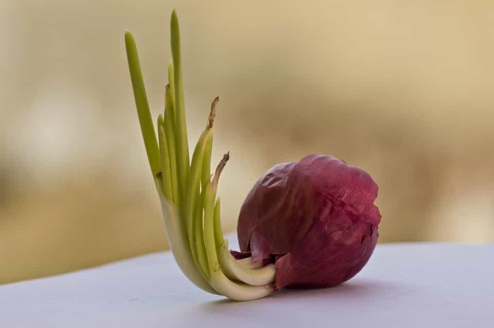 Hortaliza-cebolla