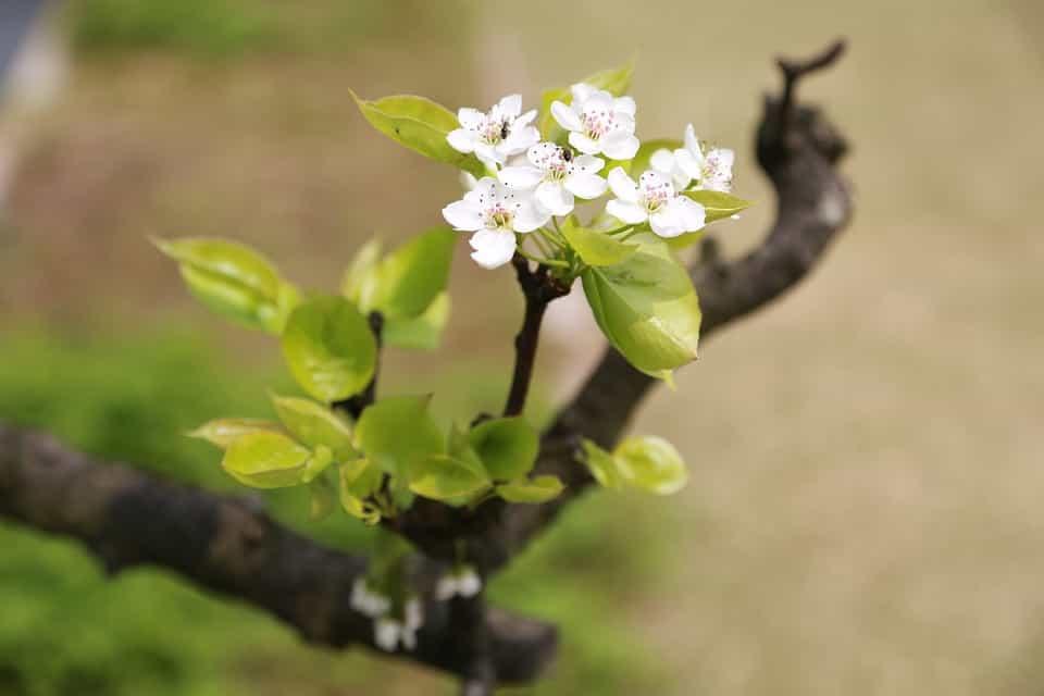 Plantar-ciruelos-maceta