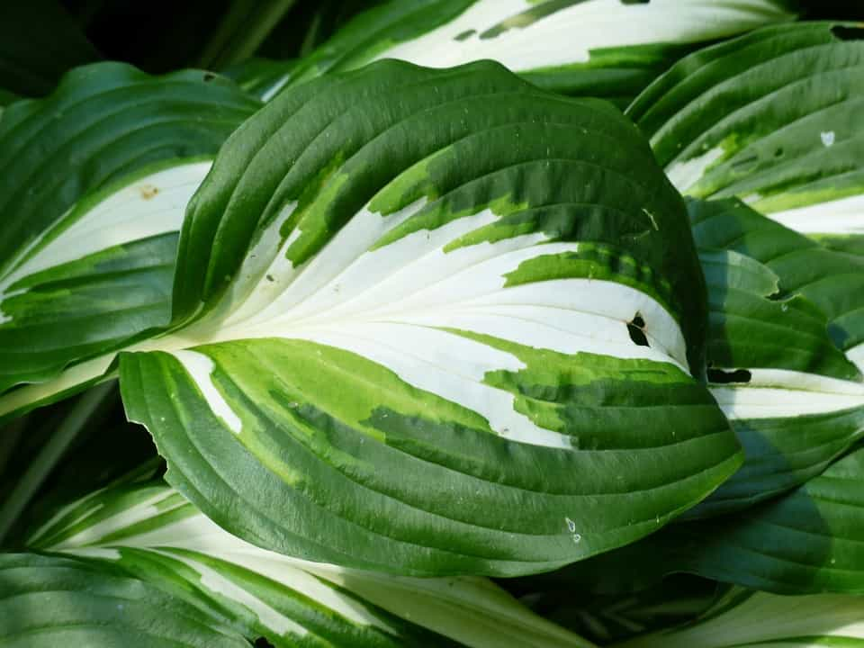 Hostas-color-hojas
