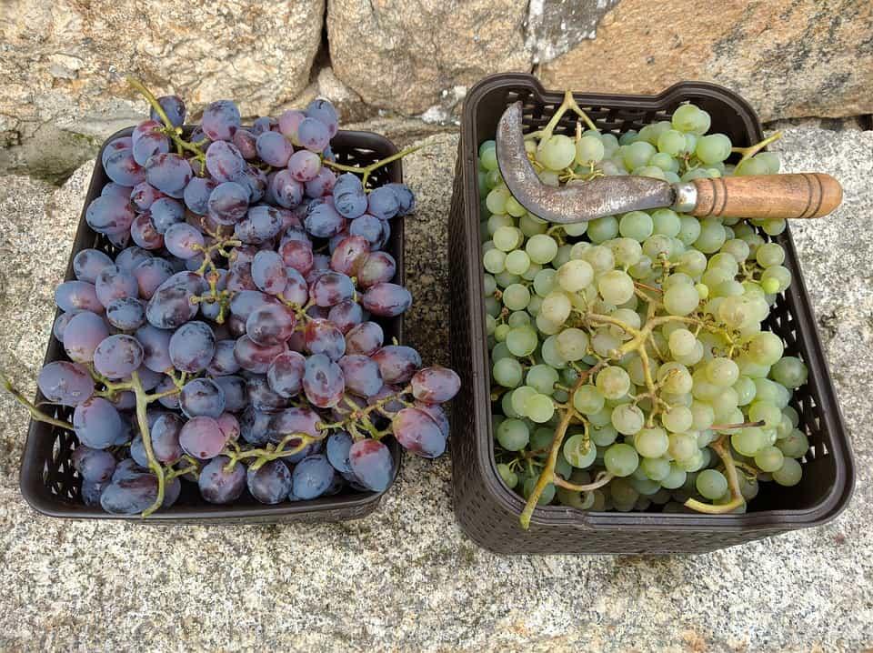 Tranchete-vendimia-uva